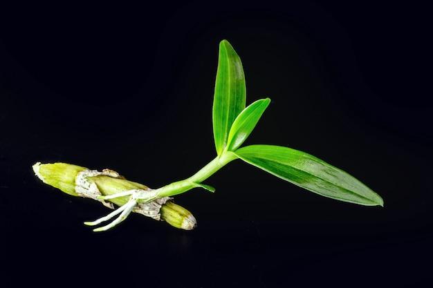 뿌리가 자라는 건강한 epiphytic 난초의 작은 새싹. 기생 식물, 뿌리 줄기 및 식물 줄기