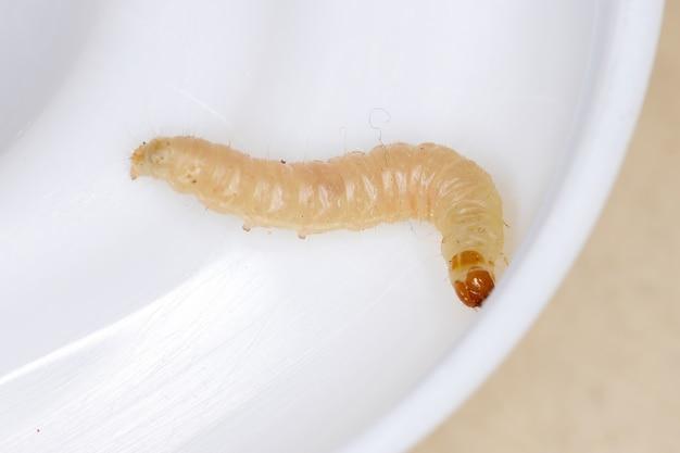 나비목 작은 나비 유충