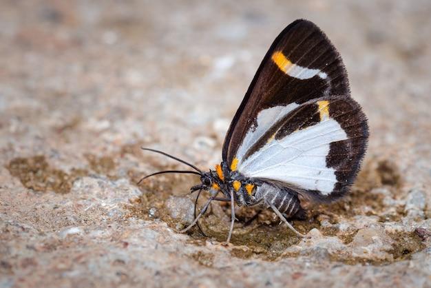 Маленькая бабочка сидит на кормлении мечты 0