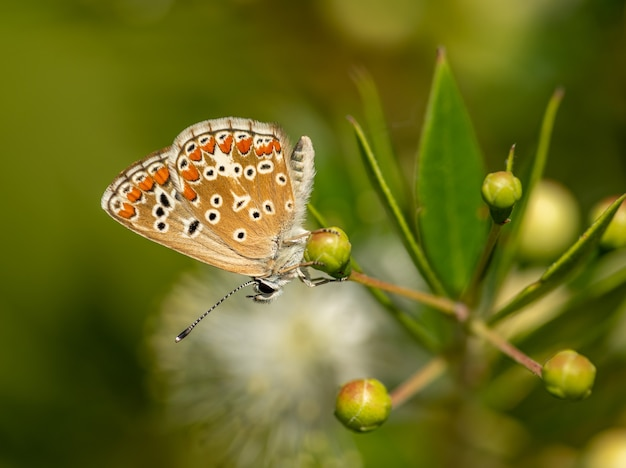 Маленькая бабочка сидит на бутонах