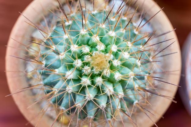 茶色の花瓶の小さなサボテン種、上面図、フラットレイ