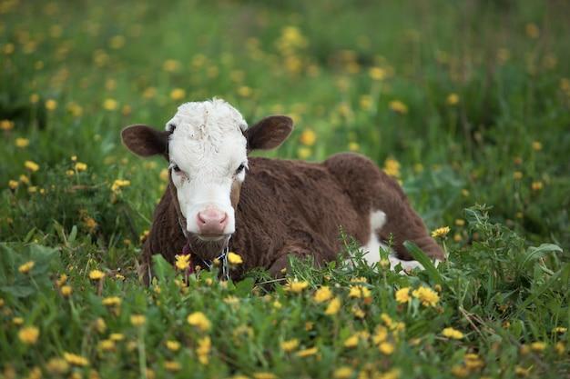 Маленький теленок, лежащий в траве и одуванчиках