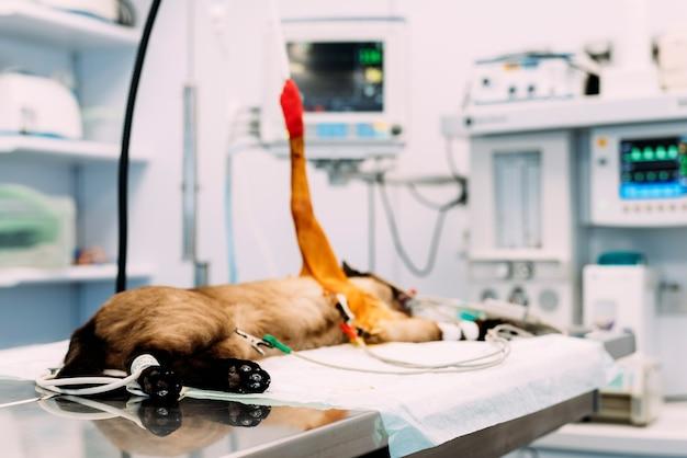 Маленькая кошка оперируется в ветеринарной клинике. ветеринарная концепция.