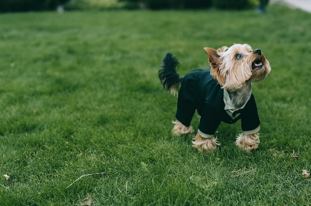 A small charming yorkshire terrier dressed in a black suit of the groom stands on the grass with open mouth and looks up.