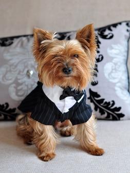 Маленький очаровательный йоркширский терьер сидит на диване в нарядной собачьей одежде.