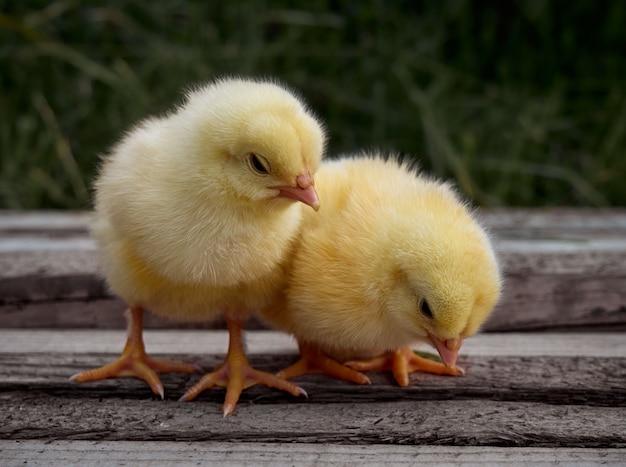 小さな鶏のクローズアップ