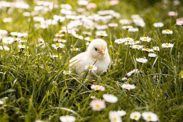 Small chicken in grass