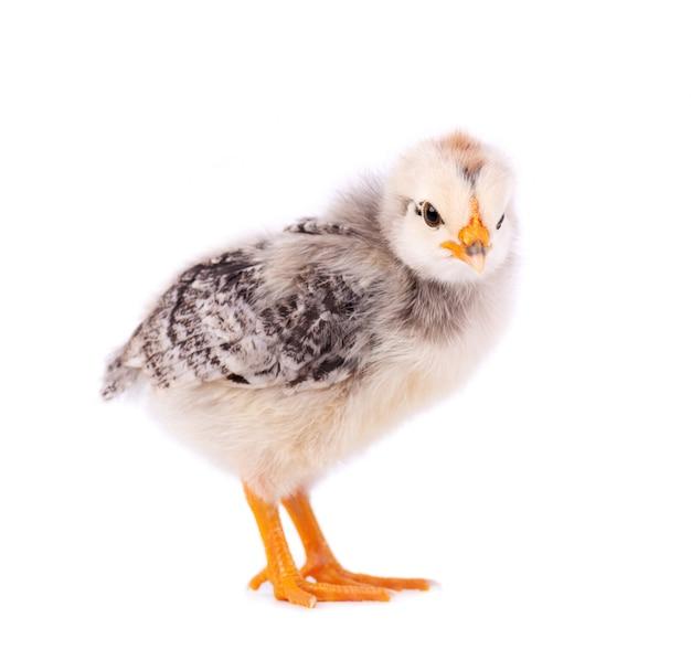 Малый цыпленок изолированный на белой предпосылке. newborn цыпленок с путем клиппирования.