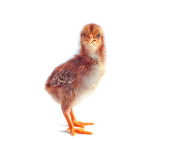 흰색 배경에 고립 된 작은 닭