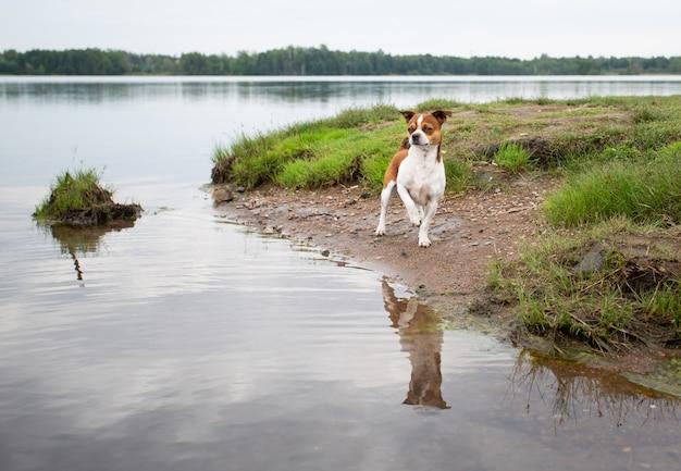 여름 날에 해변에 작은 치와와 강아지 서. 오리 사냥.