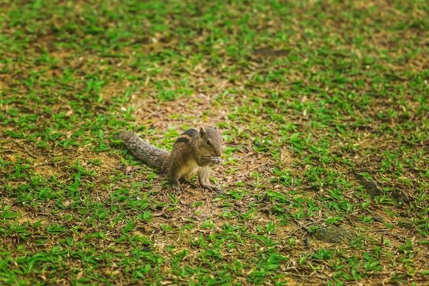 小さなシマリスは緑の芝生で食べるものを見つけようとします