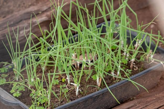 Small chives leaves of the species allium schoenoprasum