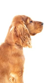 고립 된 아름 다운 금발 머리를 가진 작은 코커 발 바리 강아지