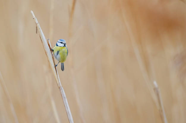 Small colorful bird standing on the dry grass