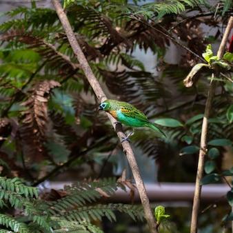 Маленькая красочная бразильская птичка среди ветвей, известная как танагер с медной грудью (saãra-lagarta или saãra-verde, или saãra-da-terra, или saãra-princesa). его научное название - tangara desmaresti.