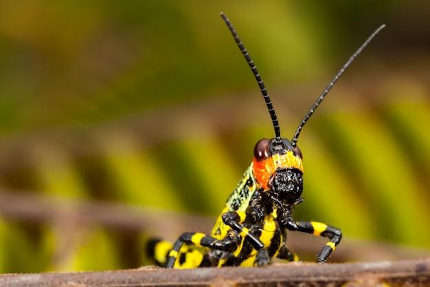Small coloured grasshopper