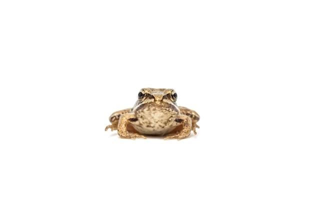 Маленькая обыкновенная лягушка крупным планом, изолированные на белом фоне