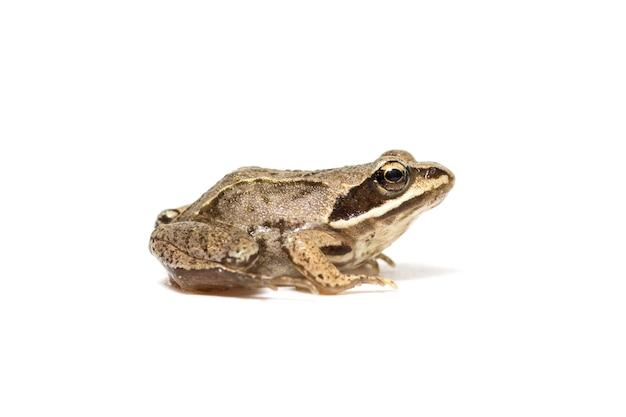 Small common frog close up isolated on a white background