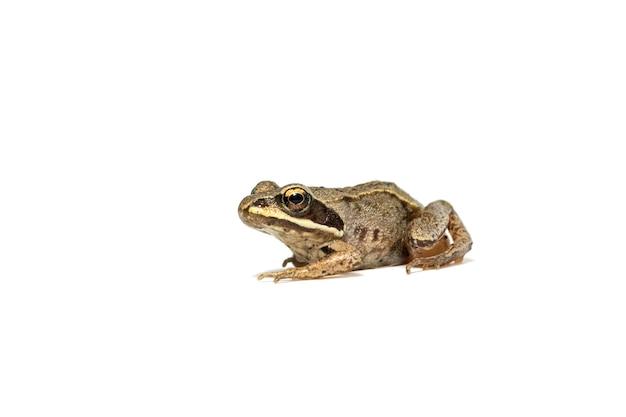 Маленькая обыкновенная лягушка заделывают изолированные