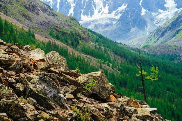 素晴らしい氷河を背景にした石の上の小さな針葉樹。石の丘のカラマツ。