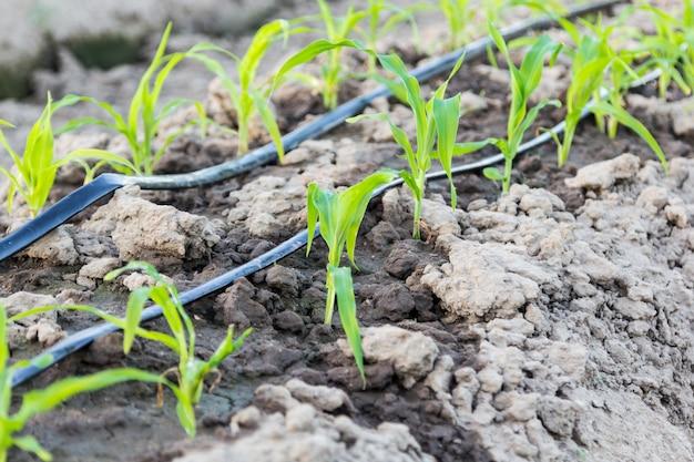 Небольшое кукурузное поле с капельным орошением в ферме