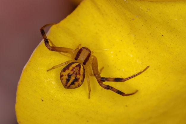 Small crab spider of the family thomisidae