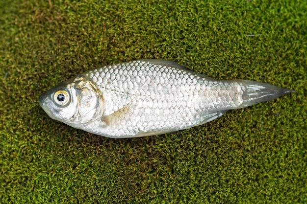 Small crucian carp lies on green moss
