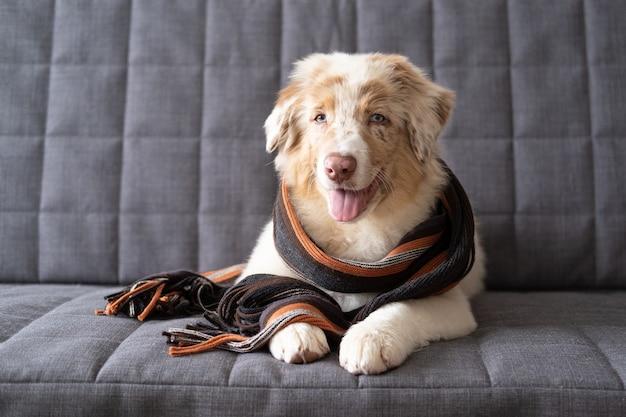 縞模様のスカーフを身に着けている小さなかわいいオーストラリアンシェパードの赤いメルル子犬の犬。