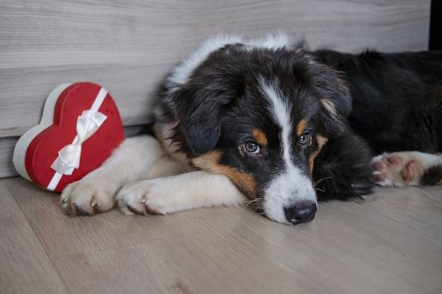 작고 귀여운 호주 셰퍼드 3색 강아지는 하트 선물 상자를 가지고 노는 것입니다. 발렌타인 데이. 생일 축하해. 헌신적인 눈. 바닥에 누워