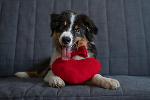 Small cute australian shepherd three colour puppy dog with big heart in red bow tie. valentine day. happy birthday. lying on sofa couch. high quality photo