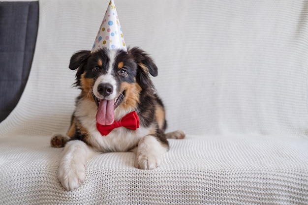 Small cute australian shepherd three colour puppy dog with party hat in red bow tie on couch. happy birthday. lying on sofa couch.