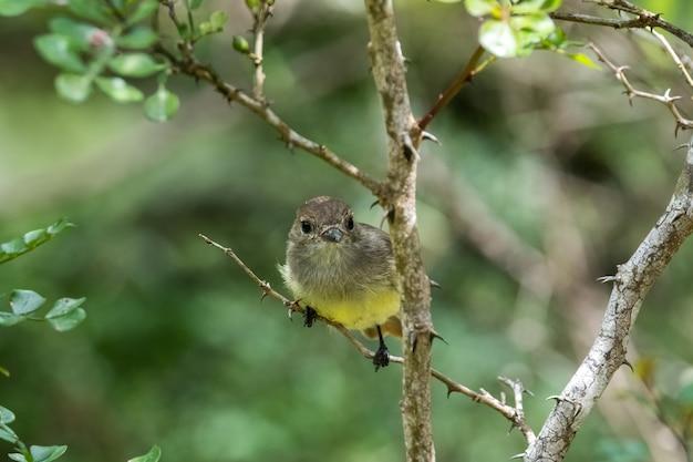 エクアドルのガラパゴス諸島の木の枝に腰掛け小さなかわいい鳥