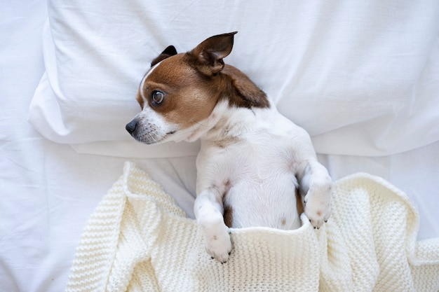 Маленькая милая собака чихуахуа спит и лежит в белой кровати