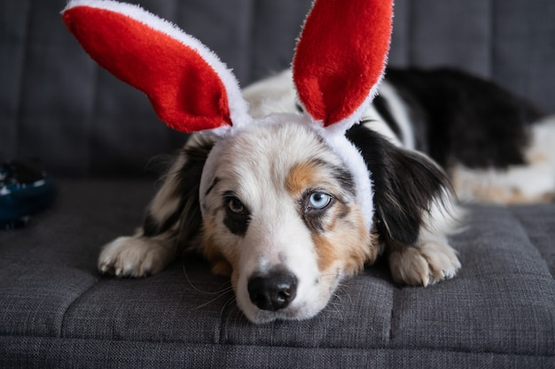 Small cute curious australian shepherd blue merle dog wearing bunny ears. easter. lying on sofa couch. happy easter