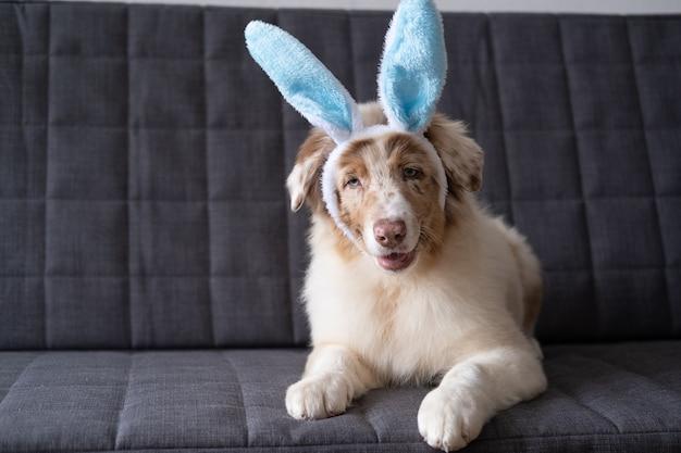 토끼 귀를 입고 작은 귀여운 호기심 호주 셰퍼드 레드 멀 강아지. 부활절. 소파 소파에 누워.
