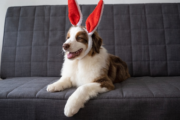 Small cute curious australian shepherd red three colours puppy dog wearing bunny ears. looking asside. lying on sofa couch. happy easter