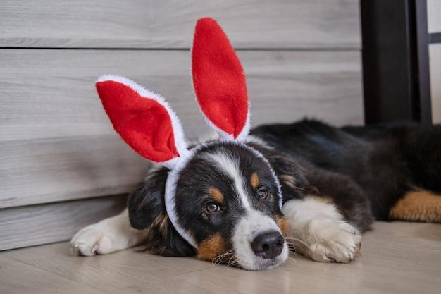 작고 귀여운 호기심 많은 호주 셰퍼드 3색 강아지가 토끼 귀를 쓰고 있습니다. 부활절. 소파 소파에 누워. 녹색 눈. 평면도. 행복한 부활절 고품질 사진
