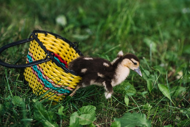 Small cute duckling coming out from the yellow basket on green grass