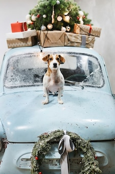 Small and cute jack russell terrier dog sits on the hood of blue retro car with christmas gifts on the roof.