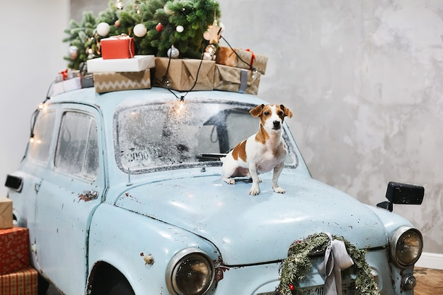 Small cute jack russell terrier dog sits on the hood of blue retro car with presents on the roof