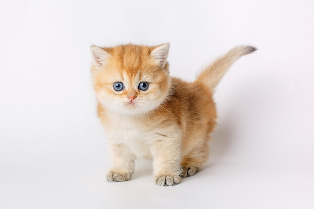 小さなかわいい子猫ゴールデンチンチライギリスの白い背景で隔離