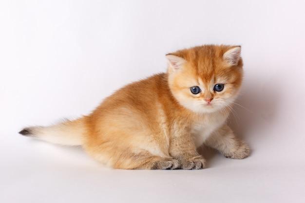 白い背景の上の小さなかわいい子猫ゴールデンチンチライギリス