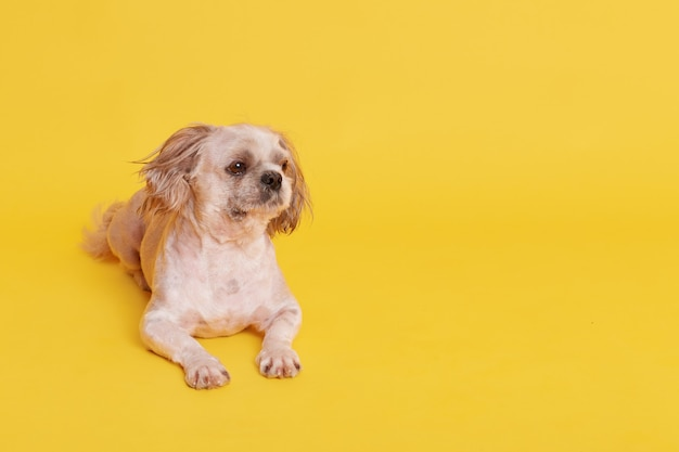 Small cute pekingese dog lying on floor isolated on yellow