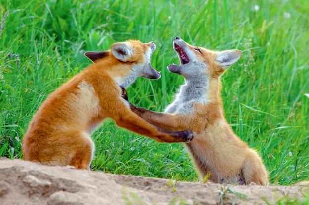 緑の牧草地に小さなかわいい子犬フォックスカブス