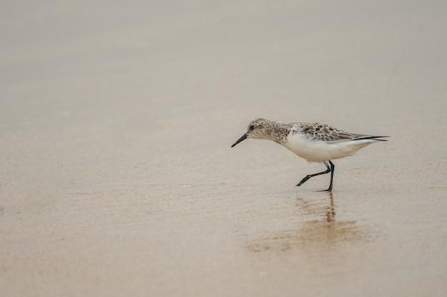 Маленькая милая птица-судак гуляет по песчаному пляжу