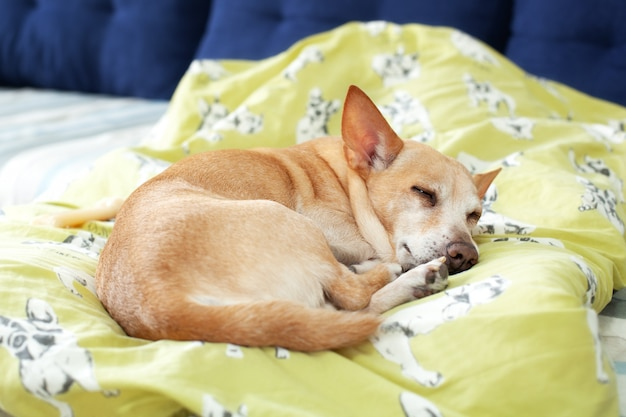 Small cute tired chihuahua dog resting on bed on a sunny day on blanket. care for pet. portrait of dog sleeping morning on couch. feeling tired or bored. depression, boring. dog is waiting for owner.