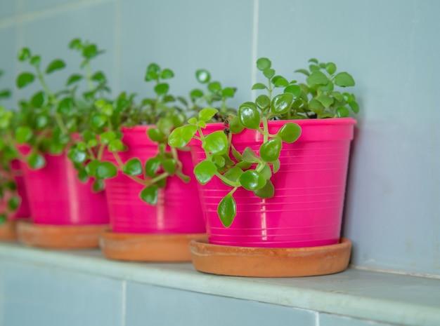 ピンクのプラスチック製の鉢に植えられた小さなデイブ