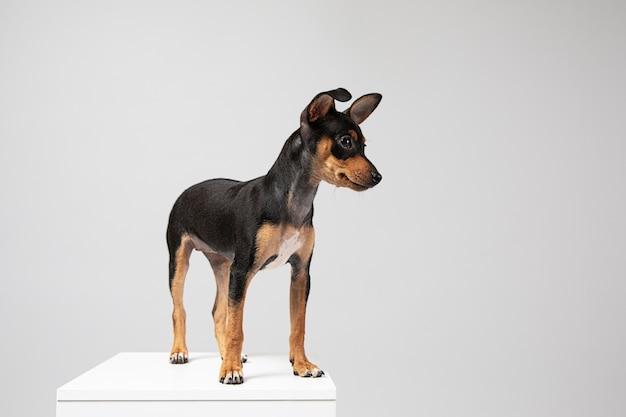 スタジオで愛らしい肖像画である小さな犬