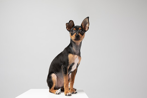 Small dog being adorable portrait in a studio