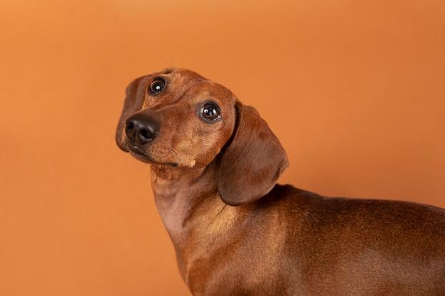 Un cane di piccola taglia è adorabile